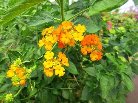 IMG_9590黄色い花