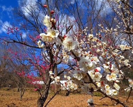 IMG_9592梅の花