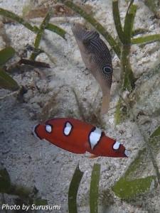 ツユベラ幼魚&ヒメキンチャクフグ