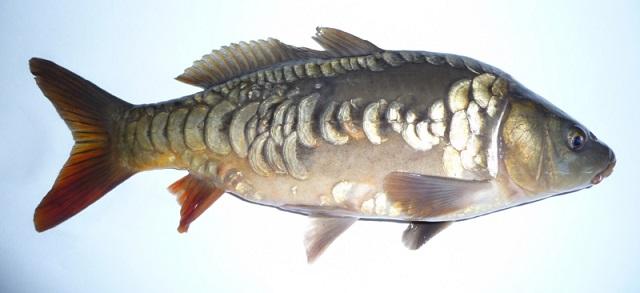 ドイツ鯉 (2)