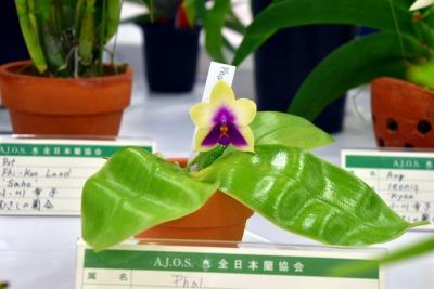Phal Violacea Candy Pot