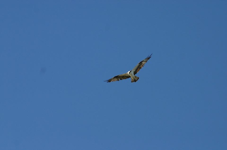 161228飛ぶ鷹