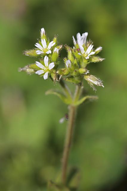 オランダミミナグサ(和蘭耳菜草)