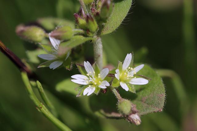 ミミナグサ(耳菜草)