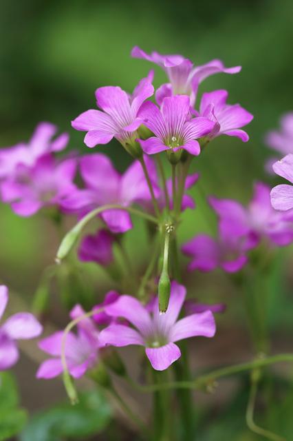 ムラサキカタバミ(紫片喰、紫酢漿草)