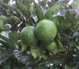秋の果実4カボス