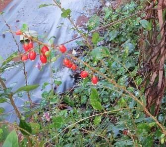 秋の果実2クコ