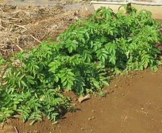 秋ジャガ用品種のあいのあか11月上旬