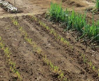 エン麦の発芽