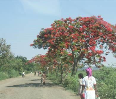 火炎樹マダガスカル11月