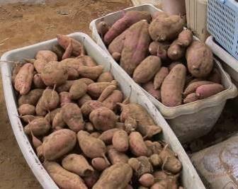 サツマイモ収穫物乾燥