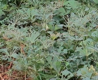 サツマイモ虫害2