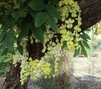 熱帯の黄色い花1