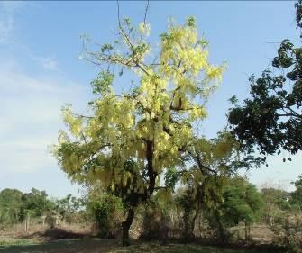 熱帯の黄色い花2