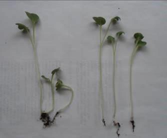 カイワレダイコン大種子の異常