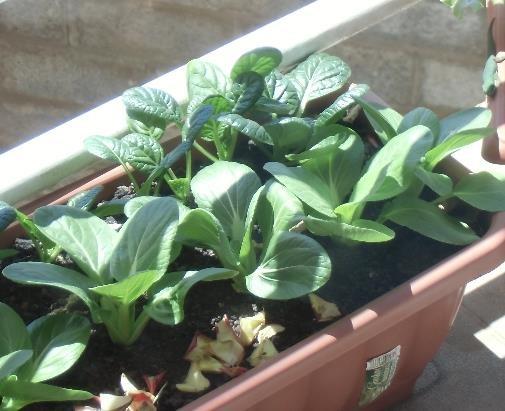 コーヒー滓株間直接施用の葉もの栽培チンゲンサイ