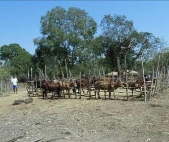 マダガスカルの牛1