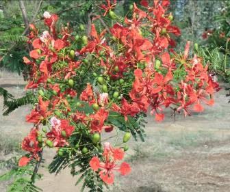 火炎樹マダガスカル1