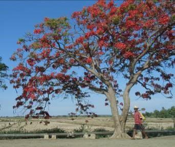 火炎樹マダガスカル2