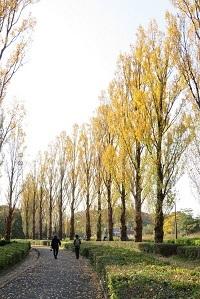 水元公園ポプラ並木
