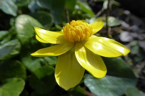 ヒメリュウキンカ 今季の初咲き