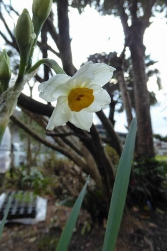 水仙 一番咲