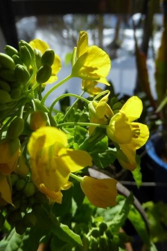 寒咲菜の花