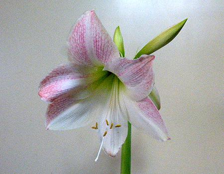 アマリリス二番蕾開花