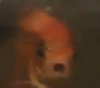 news伊勢に「しゃべる金魚」「うったえる金魚」 /三重2
