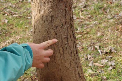 木の幹に何者かの毛が!