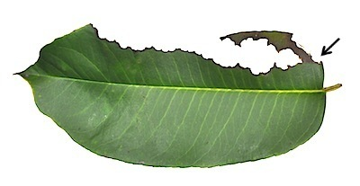 オオカナメモチの葉