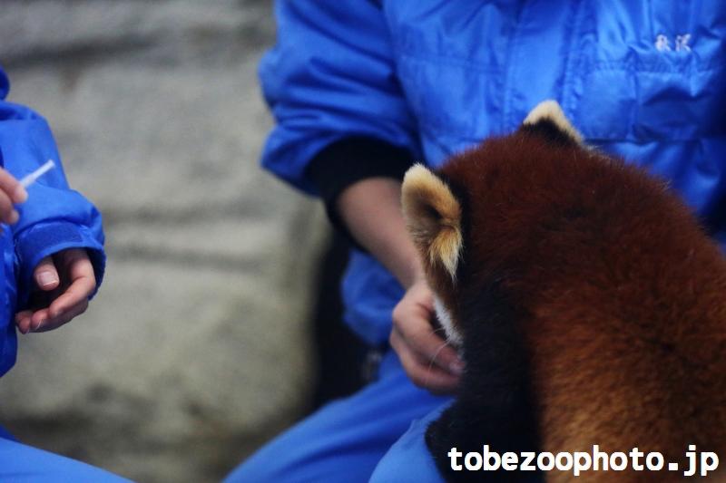 飼育員さんからエサをもらっているレッサーパンダの砥々丸くん