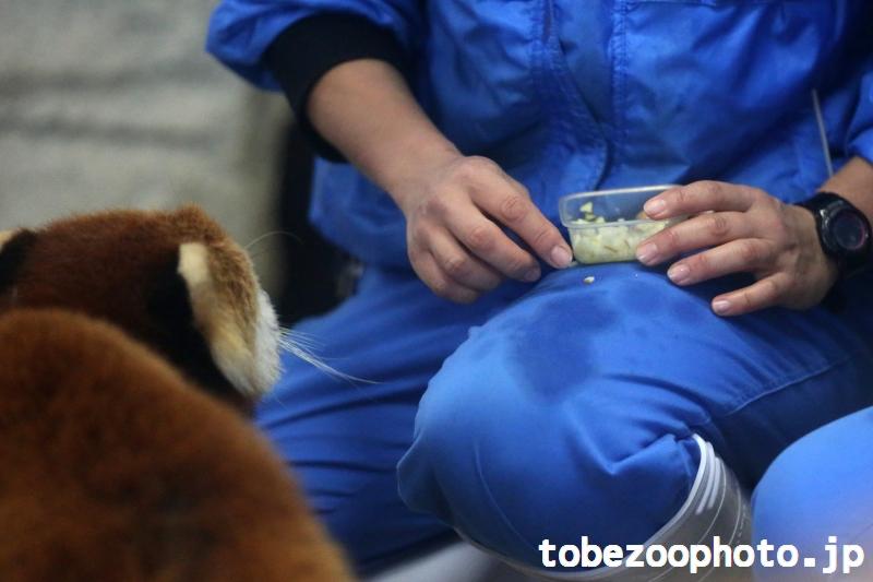 飼育員さんの膝に気が付いたレッサーパンダの砥々丸くん