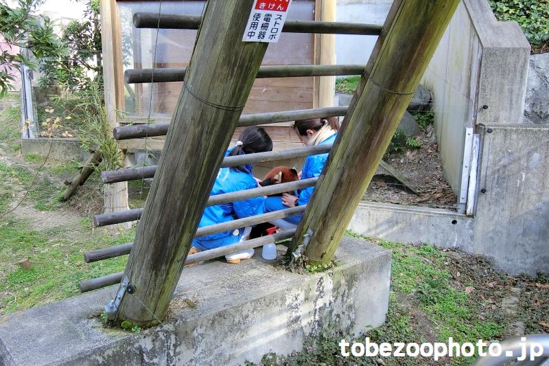 屋外運動場にてレッサーパンダさんの健康診断1