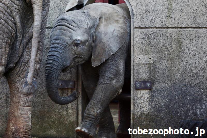 アフリカゾウの砥愛ちゃん、秘密の通路からお外へ