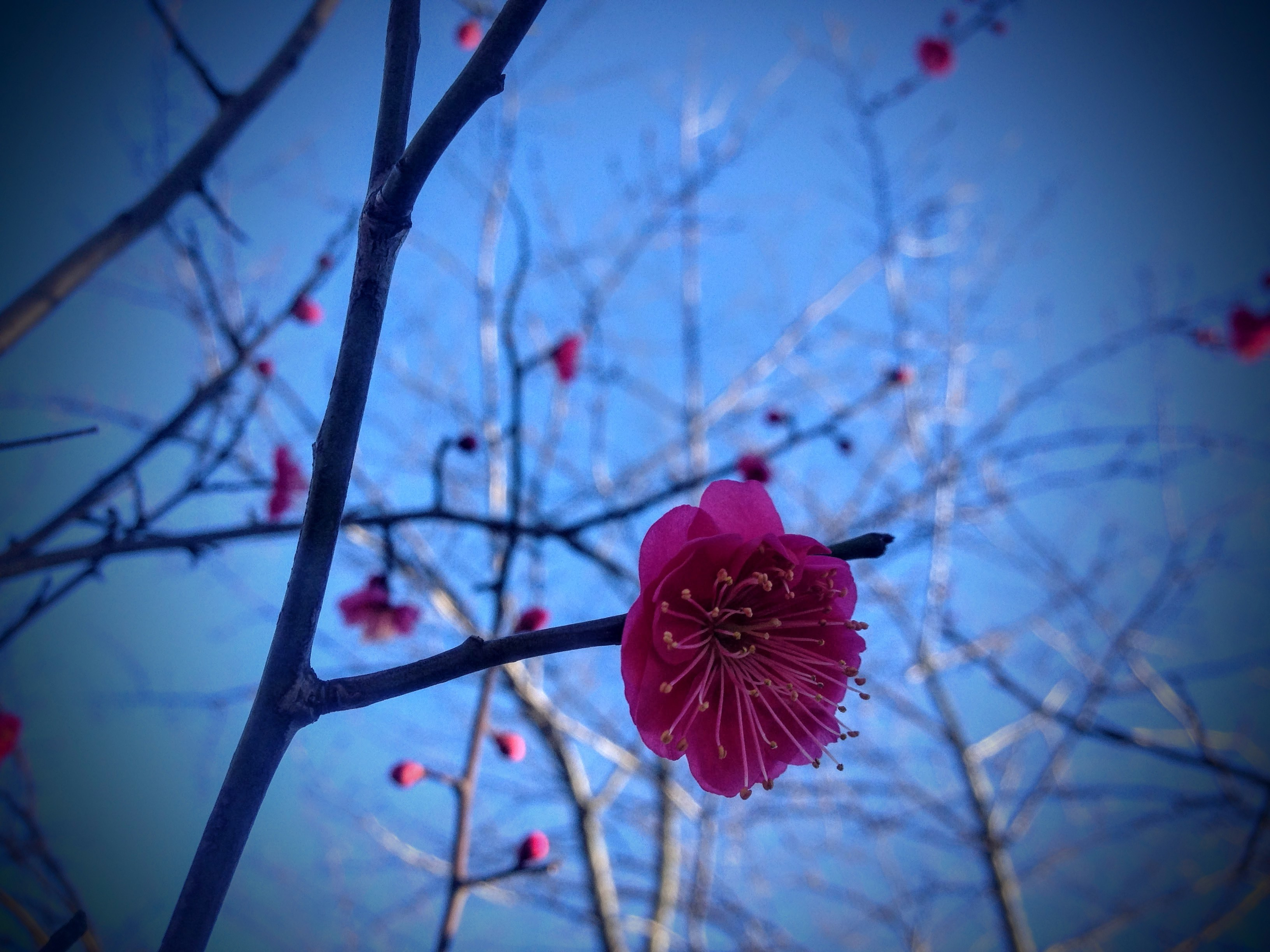 東京都中野区の老舗製麺所大成食品株式会社そば 新井薬師公園近くで開花した寒梅