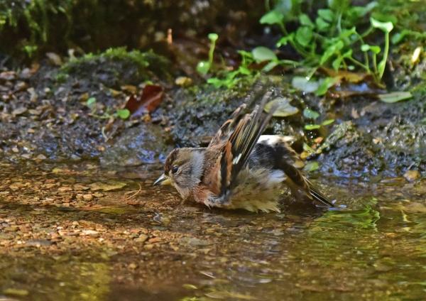 アトリ水浴び3 DSC_0509