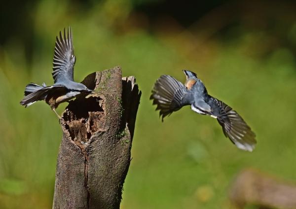 ゴジュウカラ3飛び付き2羽-