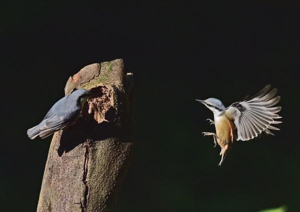 ゴジュウカラ4飛び付き2羽 D