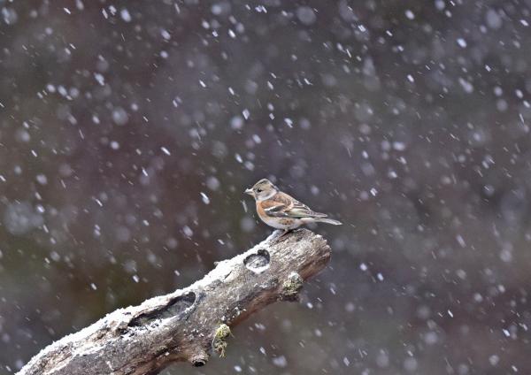 アトリ雪1 DSC_0897