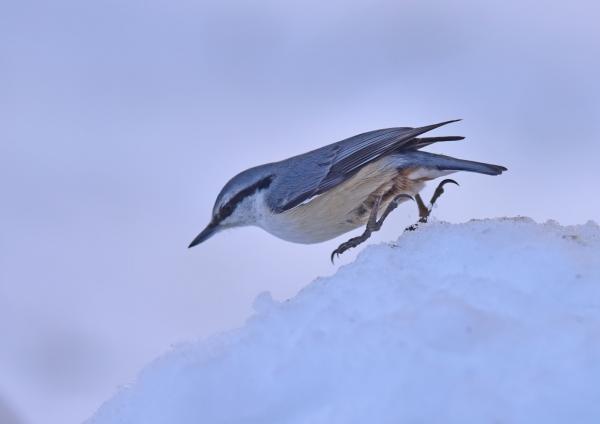 ゴジュウカラ雪1 DSC_0651
