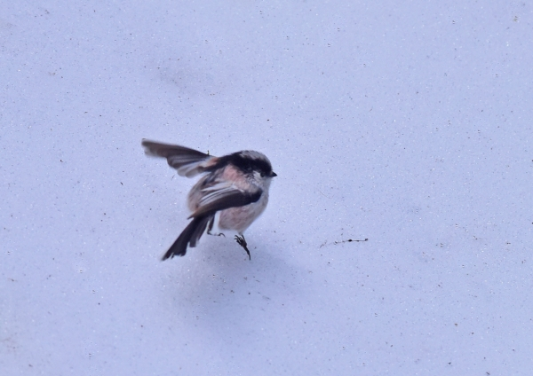 エナガ雪2 DSC_0244