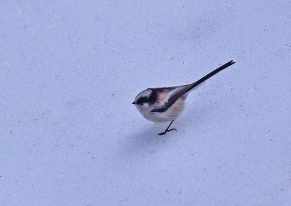 エナガ雪4 DSC_0249