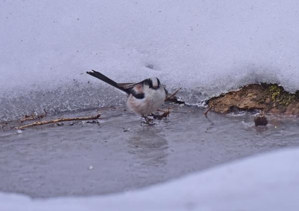 エナガ雪5 DSC_0286