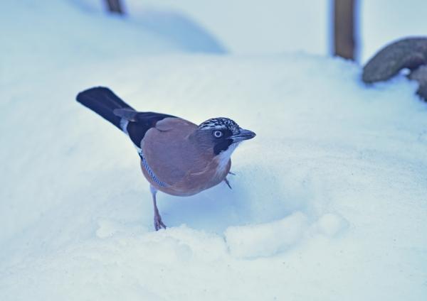 カケス雪5 DSC_0379