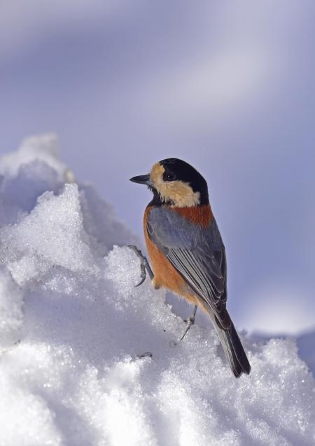 ヤマガラ雪1 DSC_0766