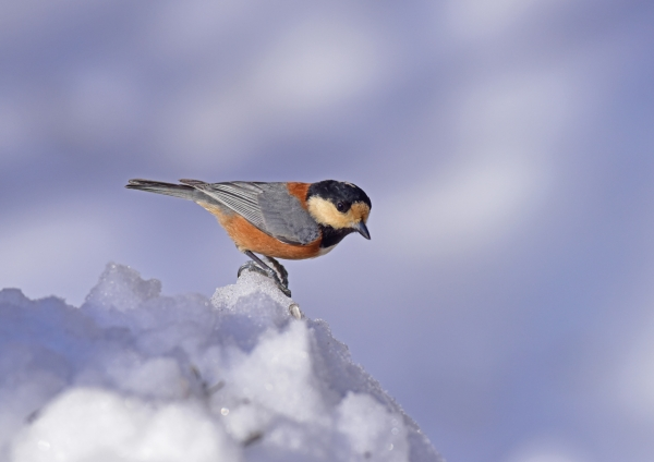ヤマガラ雪2 DSC_0762