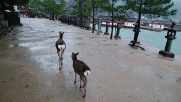 宮島と言えば鹿