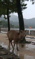 宮島と言えば鹿と鳥居