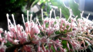 マカダミアの花